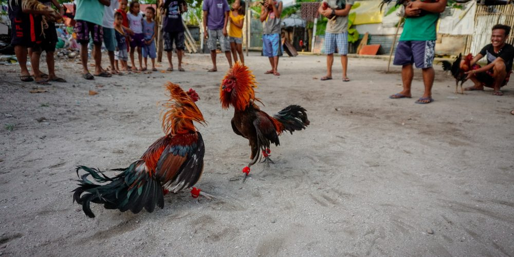 Cock fight training on Malapascua