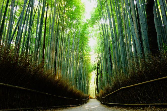 Sagano Bamboo Forest Kyoto